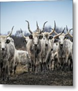 Grey Cattle Herd Metal Print