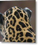 A Jaguar At Omahas Henry Doorly Zoo Metal Print