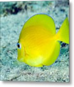 A Juvenile Blue Tang Searching Metal Print by Terry Moore