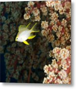 A Juvenile Golden Damsel Fish Shelters Metal Print