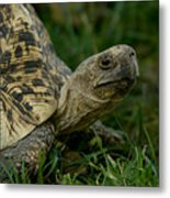 A Leopard Tortoise At The Lincoln Metal Print