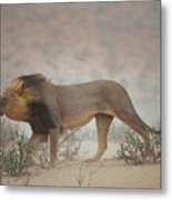 A Lion Pushes On Through A Gritty Wind Metal Print