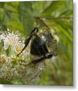 A Little Bee-hind Metal Print