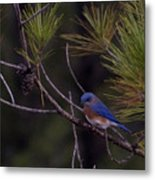 A Little Bluebird Metal Print