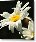 A Little Less Than Perfect Sunshine Daisy  Metal Print