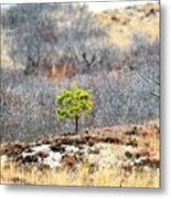 A Lonely Pine Tree Metal Print