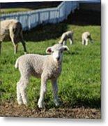 A Longwool Lamb Metal Print