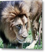 A Male Lion, Panthera Leo, King Of Beasts Metal Print