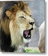 A Male Lion, Panthera Leo, Roaring Loudly Metal Print