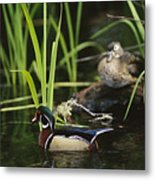A Male Wood Duck Swims Past Its Mate Metal Print