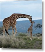 A Mother Giraffe Nuzzles Her Baby Metal Print