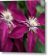 A Pair Of Clematis Flowers Metal Print