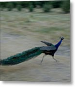A Peacock On A Hog Farm In Kansas Metal Print