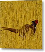 A Pheasant Looking For A Mate Metal Print
