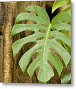 A Philodendron Grows On The Side Metal Print
