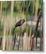 A Plumage Sparrow Metal Print