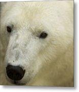 A Polar Bear At The Henry Doorly Zoo Metal Print
