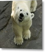 A Polar Bear Looks Up At Its Observers Metal Print