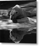 A Polar Bear Reflects Metal Print