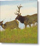 A Portrait Of A Large Bull Elk Following A Cow,rutting Season. Metal Print