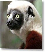 A Portrait Of A Sifaka Primate, A Large Lemur Metal Print