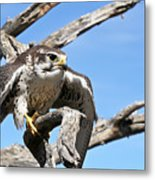 A Prairie Falcon Against A Blue Sky Metal Print
