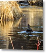A Quiet Morning Swim Metal Print