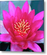 A Red And Yellow Water Lily Flower Metal Print
