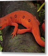 A Red Eft Crawls On The Forest Floor Metal Print by George Grall