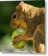 A Red Fox Squirrel Chews On A Walnut Metal Print