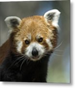 A Red Panda Ailurus Fulgens At Zoo Metal Print