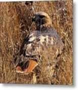 A Red Tailed Hawk  Metal Print