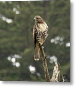 A Red-tailed Hawk Juvenile Metal Print