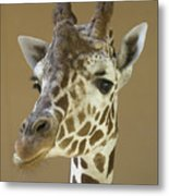 A Reticulated Giraffe Makes A Slanted Metal Print