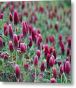 A Riot Of Red Clover Metal Print