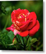 A Rose In Los Gatos Metal Print