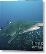 A Sand Tiger Shark Above A School Metal Print