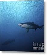 A Sand Tiger Shark And School Of Cigar Metal Print