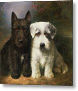 A Scottish And A Sealyham Terrier Metal Print