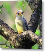 A Shady Woodland Bird Red-bellied Woodpecker Metal Print