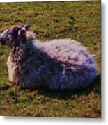 A Sheep In Wales Metal Print