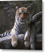 A Siberian Tiger At Omahas Henry Doorly Metal Print
