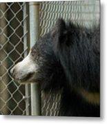 A Sloth Bear Melursus Ursinusat Metal Print by Joel Sartore