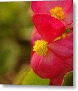 A Soft Red Flower Metal Print