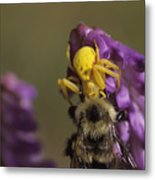 A Spider Eats A Bumblebee While Perched Metal Print
