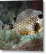 A Spotted Trunkfish, Key Largo, Florida Metal Print