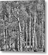 A Stand Of Aspen Trees In Black And White Metal Print