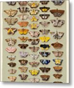 A Study Of Moths Characteristic Of Indo Metal Print