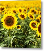 A Sunflower Plantation In Summer In South Dakota Metal Print