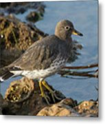 A Surfbird At The Tidepools Metal Print